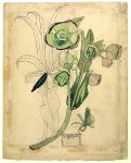 Helleborus viridis - Mackintosh - aquarelle, 1915