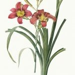 Hemerocallis fulva - wikimedia commons